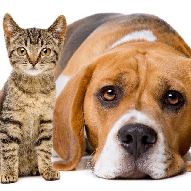 Certification comportement chien